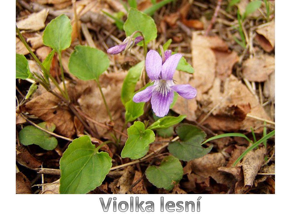 Violka lesní je menší vytrvalá bylina listy jsou srdčité modrofialové až fialové květy nevoní (na rozdíl od violky vonné) kvete v dubnu až v červnu, některé rostliny vykvétají i později v ČR se jedná o jednu z nejhojnějších violek, je rozšířena v lesích po celé zemi