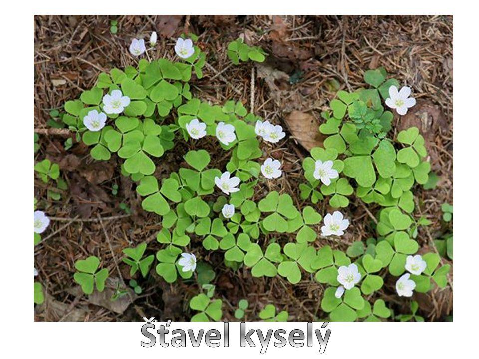 Šťavel kyselý je malá vytrvalá bylina dosahující výšky asi 5 centimetrů trojčetné listy se skládají z lístků srdčitého tvaru listy obsahují kyselinu šťavelovou, která jim dodává charakteristickou kyselou chuť, je však zdraví škodlivá a škodí hlavně ledvinám bílé květy s fialovými žilkami rozkvétají v dubnu až květnu