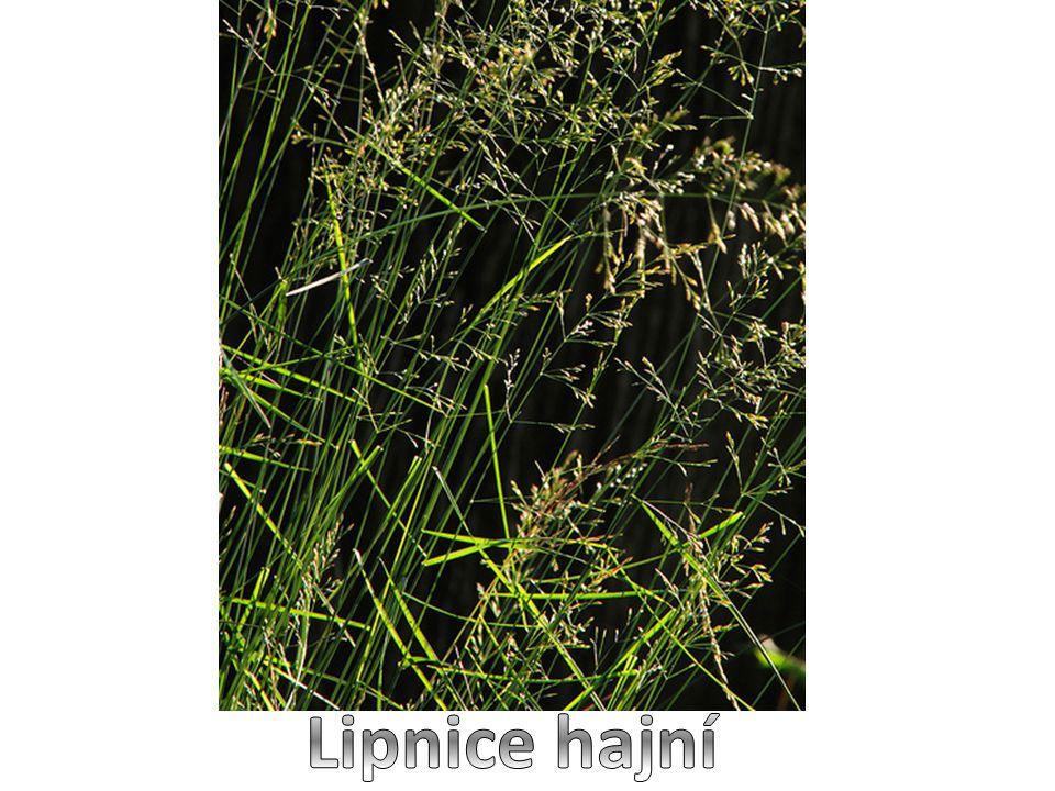 Lipnice hajní je 30–80 cm vysoká, vytrvalá tráva  tvoří trsy  tenké stéblo nese typicky odstávající listy  jemné, řídké květenství se po odkvětu stává převislým  kvete od května do června  plodem jsou drobné obilky