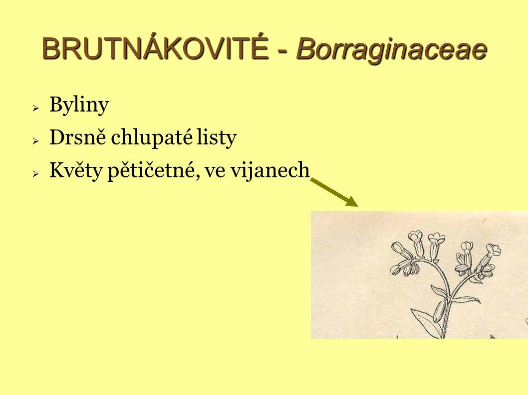 BRUTNÁKOVITÉ - Borraginaceae  Byliny  Drsně chlupaté listy  Květy pětičetné, ve vijanech