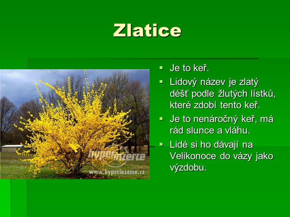 Zlatice  Je to keř.  Lidový název je zlatý déšť podle žlutých lístků, které zdobí tento keř.  Je to nenáročný keř, má rád slunce a vláhu.  Lidé si