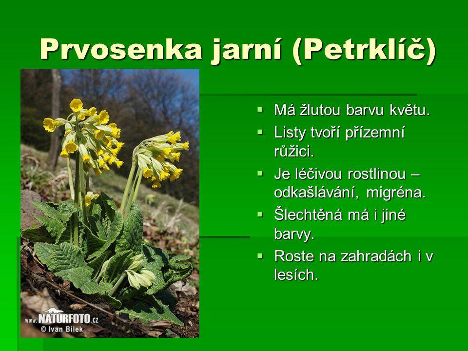 Prvosenka jarní (Petrklíč)  Má žlutou barvu květu.  Listy tvoří přízemní růžici.  Je léčivou rostlinou – odkašlávání, migréna.  Šlechtěná má i jin