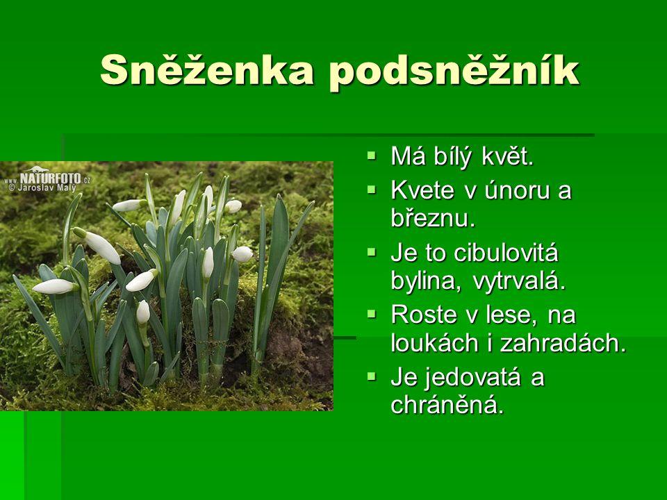 Sněženka podsněžník MMMMá bílý květ. KKKKvete v únoru a březnu. JJJJe to cibulovitá bylina, vytrvalá. RRRRoste v lese, na loukách i za