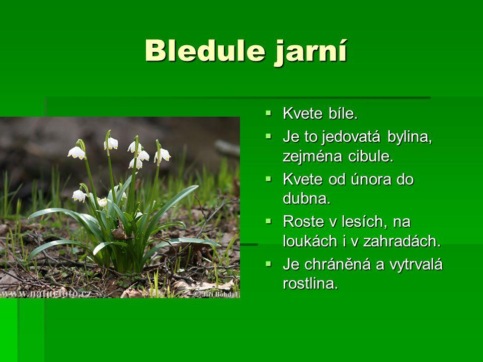 Bledule jarní  Kvete bíle.  Je to jedovatá bylina, zejména cibule.  Kvete od února do dubna.  Roste v lesích, na loukách i v zahradách.  Je chrán