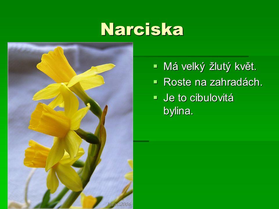 Narciska  Má velký žlutý květ.  Roste na zahradách.  Je to cibulovitá bylina.