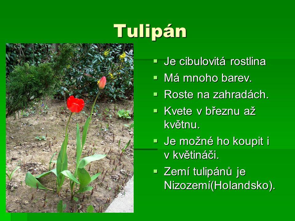 Tulipán  Je cibulovitá rostlina  Má mnoho barev.  Roste na zahradách.  Kvete v březnu až květnu.  Je možné ho koupit i v květináči.  Zemí tulipá