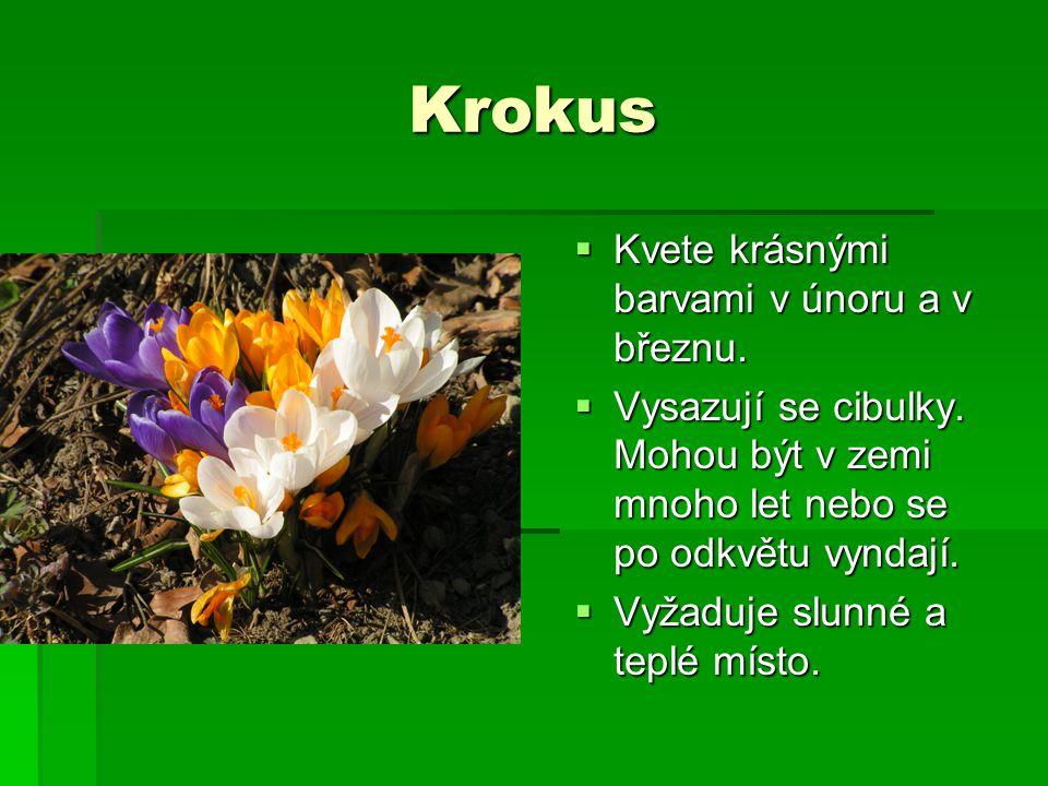 Krokus  Kvete krásnými barvami v únoru a v březnu.  Vysazují se cibulky. Mohou být v zemi mnoho let nebo se po odkvětu vyndají.  Vyžaduje slunné a