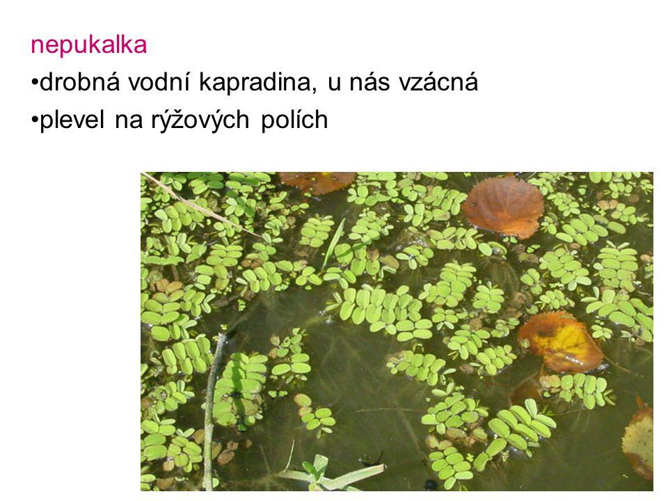 nepukalka drobná vodní kapradina, u nás vzácná plevel na rýžových polích