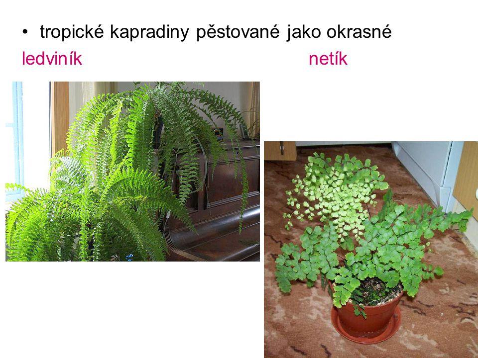 tropické kapradiny pěstované jako okrasné ledviníknetík