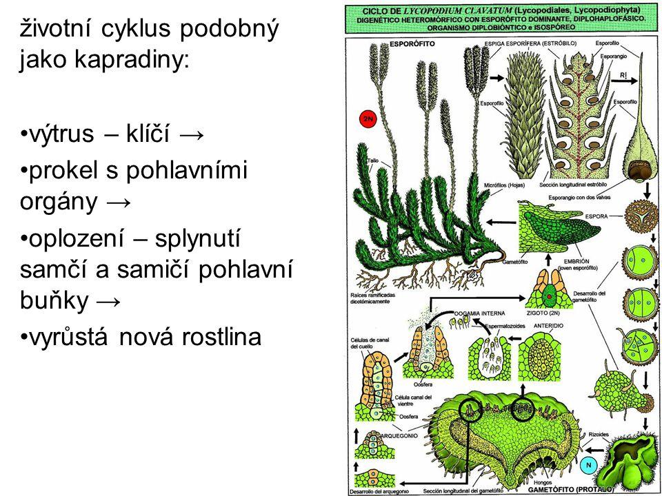 životní cyklus podobný jako kapradiny: výtrus – klíčí → prokel s pohlavními orgány → oplození – splynutí samčí a samičí pohlavní buňky → vyrůstá nová
