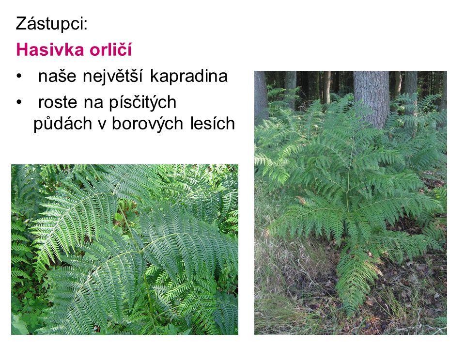 Zástupci: Hasivka orličí naše největší kapradina roste na písčitých půdách v borových lesích