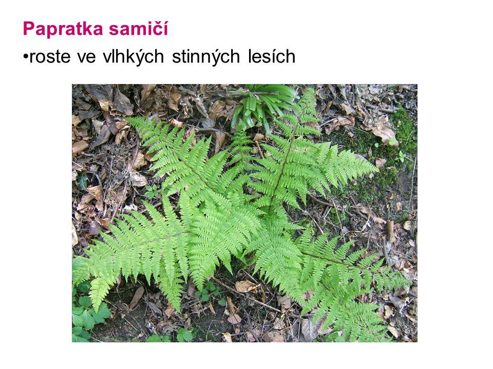 Papratka samičí roste ve vlhkých stinných lesích