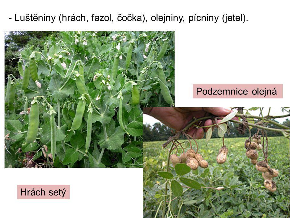 - Luštěniny (hrách, fazol, čočka), olejniny, pícniny (jetel). Podzemnice olejná Hrách setý