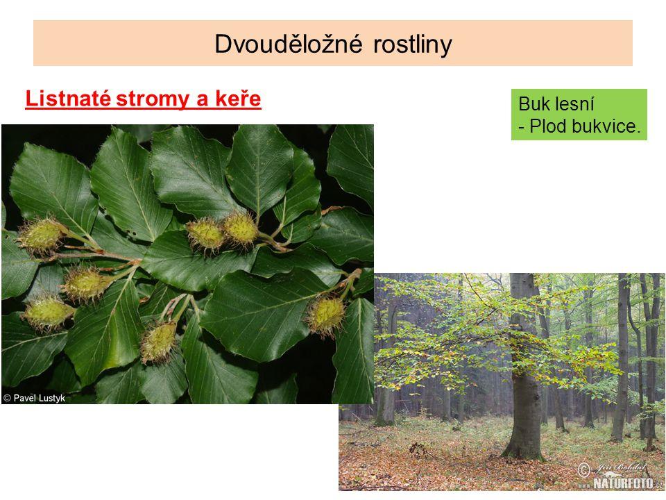 Dvouděložné rostliny Listnaté stromy a keře Buk lesní - Plod bukvice.