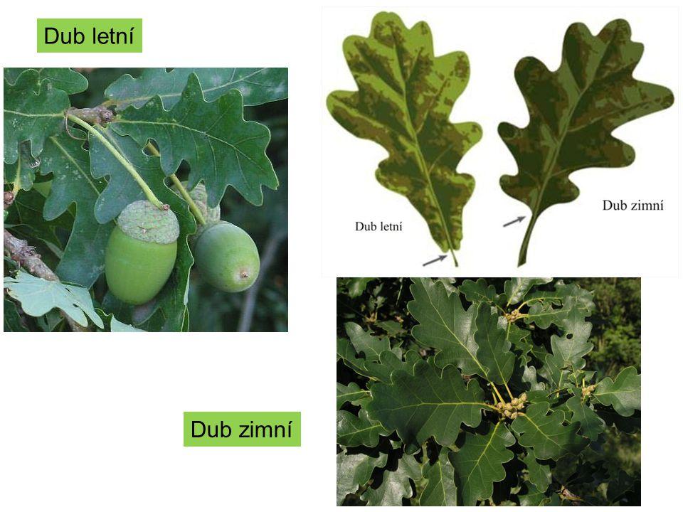 Čeleď: Hluchavkovité -Čtyřhranná lodyha -Pyskaté květy -Plody tvrdky. -Léčivé rostliny.