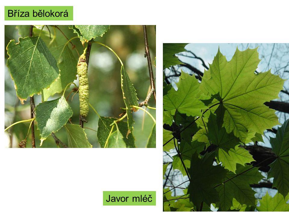 Čeleď: Bobovité -byliny, keře a stromy.-části květu – pavéza, křídla a člunek.