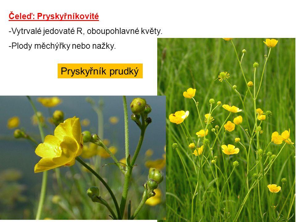 Čeleď: Pryskyřníkovité -Vytrvalé jedovaté R, oboupohlavné květy. -Plody měchýřky nebo nažky. Pryskyřník prudký