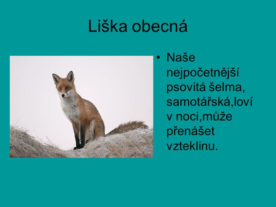 Liška obecná Naše nejpočetnější psovitá šelma, samotářská,loví v noci,může přenášet vzteklinu.