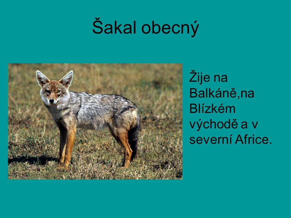 Šakal obecný Žije na Balkáně,na Blízkém východě a v severní Africe.