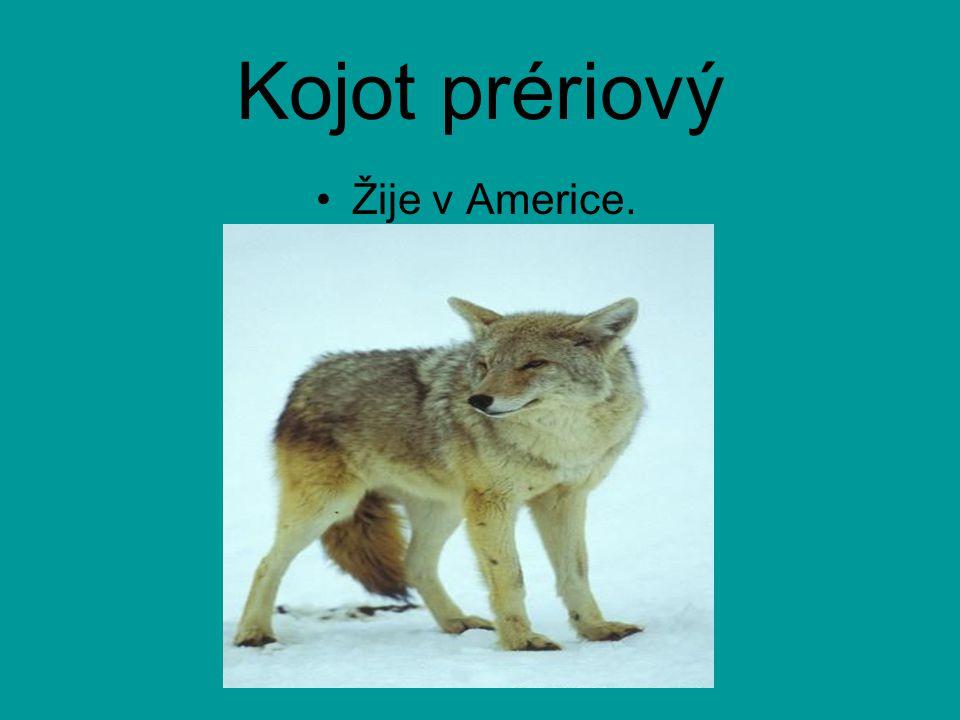 Pes dingo Žije v Austrálii. Vznikl prokřížením a zdivočením dovezených psů.