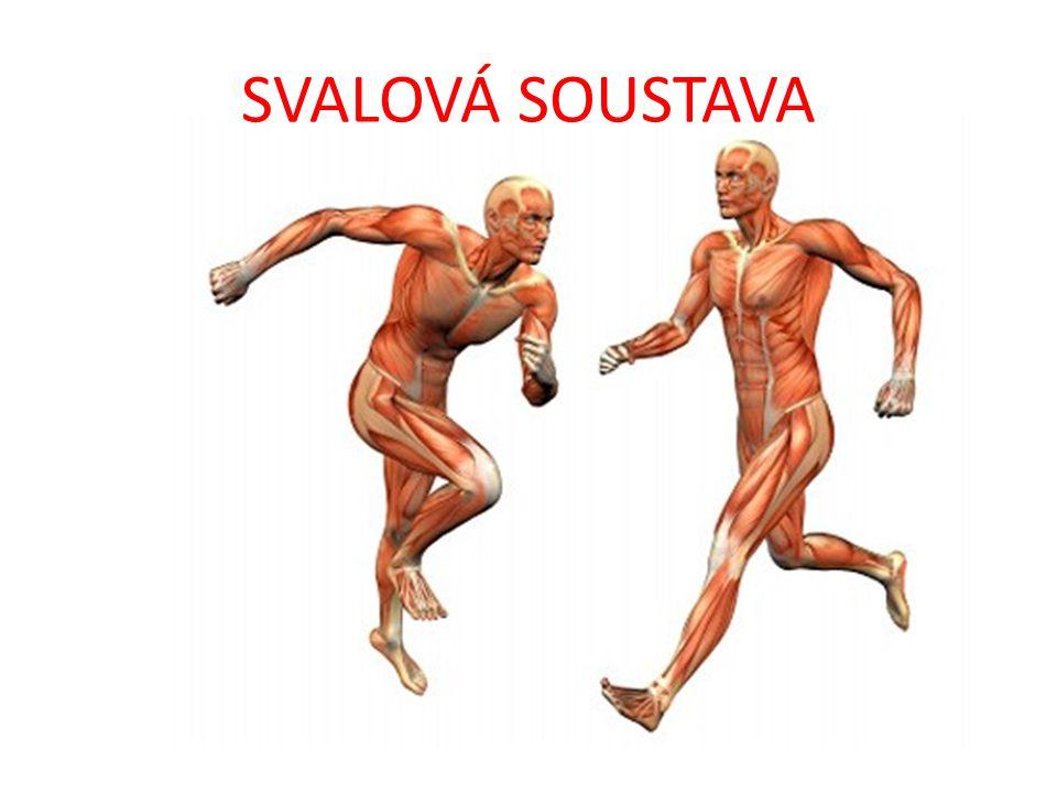 hladká svalovina příčně pruhovaná svalovina srdeční svalovina