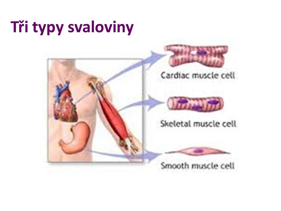 Tři typy svaloviny