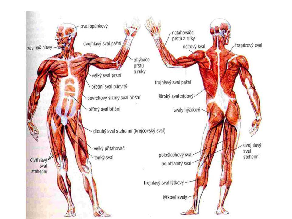 Použité zdroje: http://is.muni.cz/do/1451/e-learning/kineziologie/elportal/pages/zakladni_slozky.html http://www.szs-tabor.cz/Projekt/projekt/som/Obrazovy_pruvodce/tema/t02/obsah.htm http://zdravi.e15.cz/clanek/priloha-pacientske-listy/lidske-svaly-447668 http://biologie.okhelp.cz/clovek/svaly.php