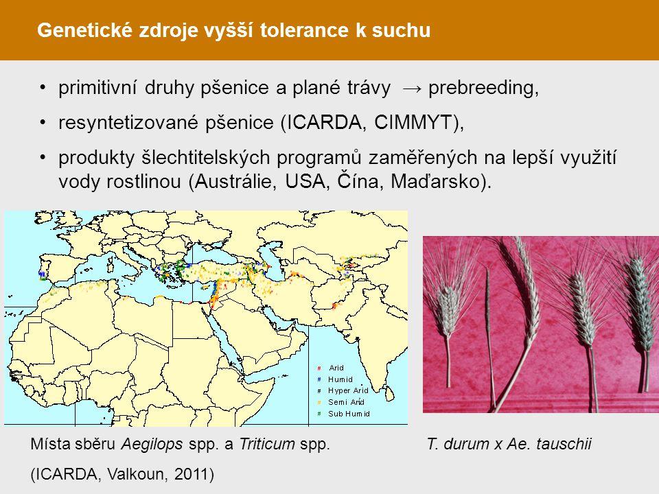 Genetické zdroje vyšší tolerance k suchu primitivní druhy pšenice a plané trávy → prebreeding, resyntetizované pšenice (ICARDA, CIMMYT), produkty šlec