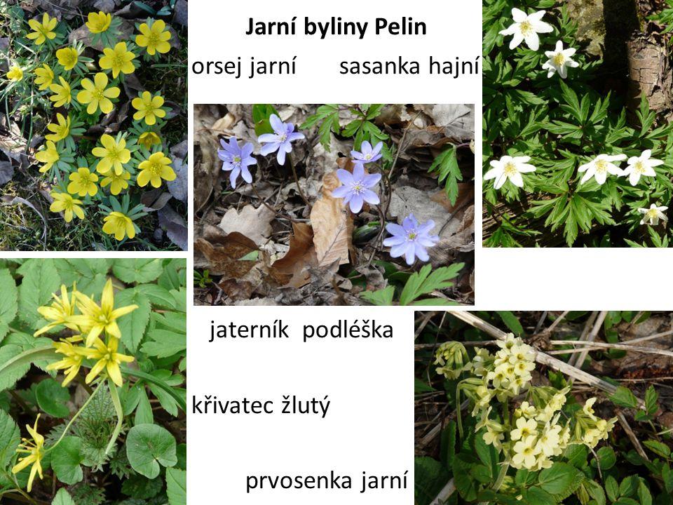 Jarní byliny Pelin orsej jarní sasanka hajní jaterník podléška křivatec žlutý prvosenka jarní