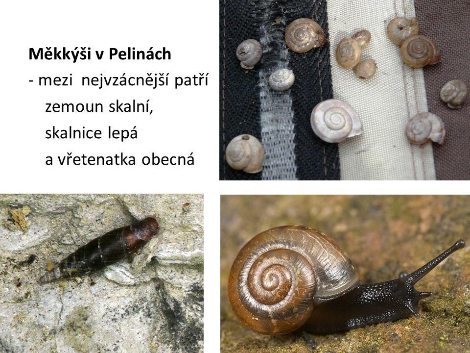 Měkkýši v Pelinách - mezi nejvzácnější patří zemoun skalní, skalnice lepá a vřetenatka obecná