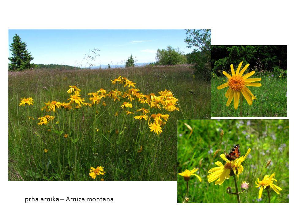 prha arnika – Arnica montana