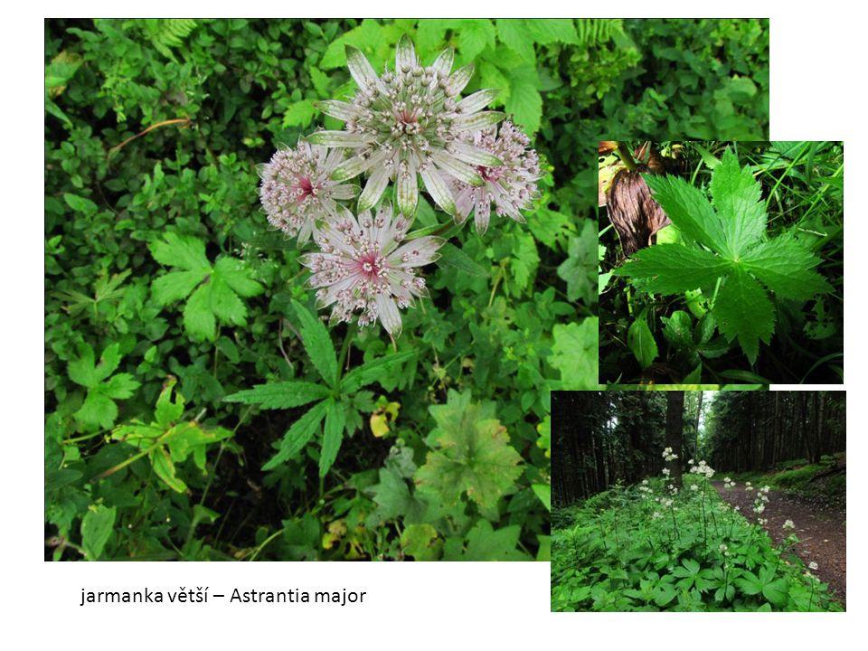 jarmanka větší – Astrantia major