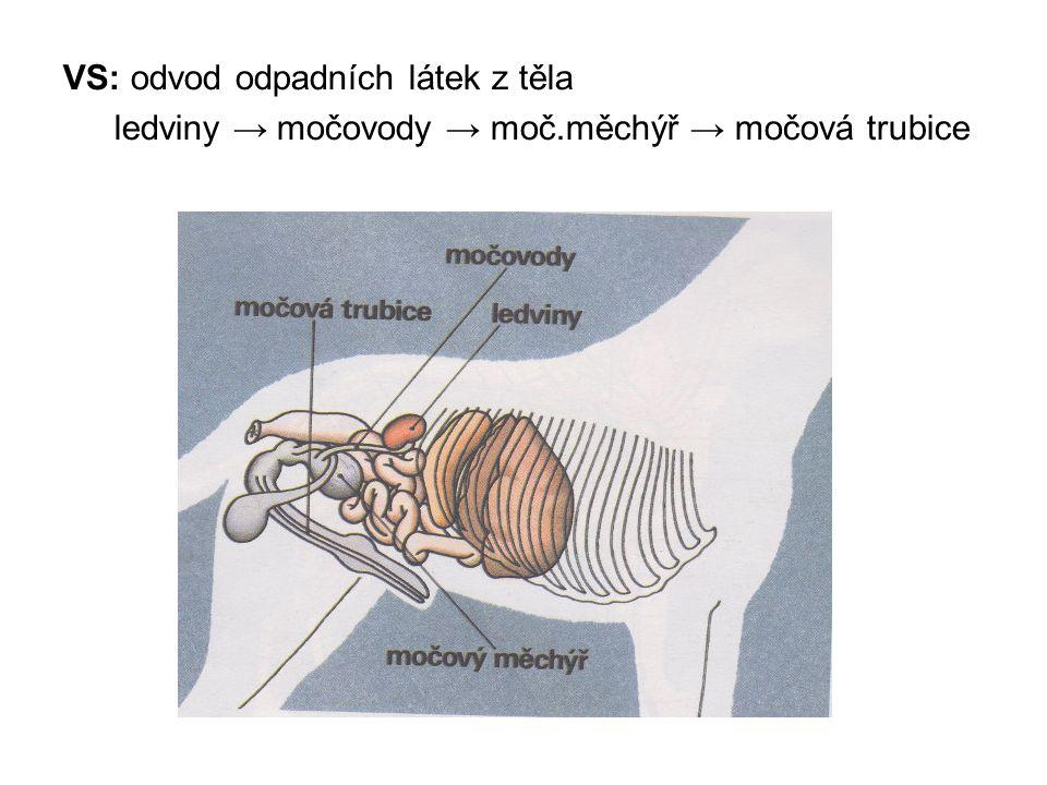 VS: odvod odpadních látek z těla ledviny → močovody → moč.měchýř → močová trubice
