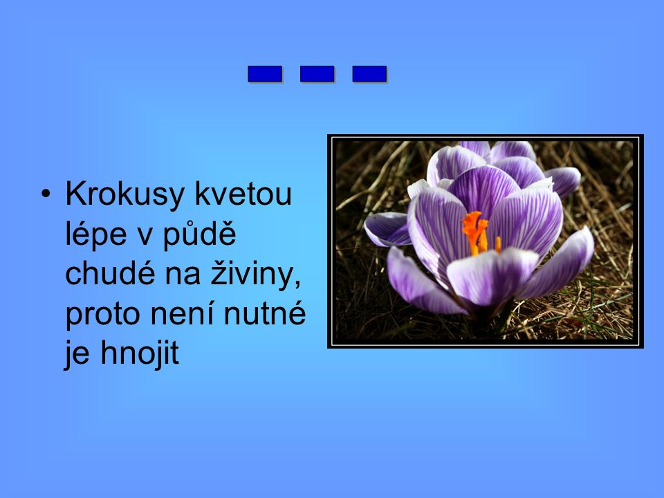 Krokusy kvetou lépe v půdě chudé na živiny, proto není nutné je hnojit