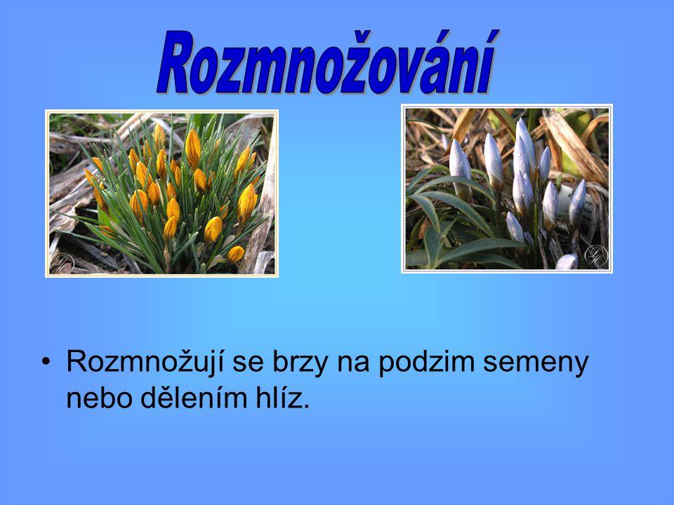 Rozmnožují se brzy na podzim semeny nebo dělením hlíz.