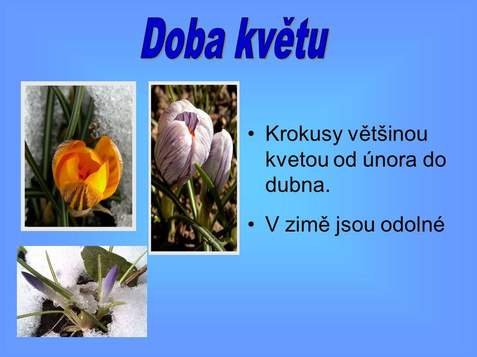 Krokusy většinou kvetou od února do dubna. V zimě jsou odolné