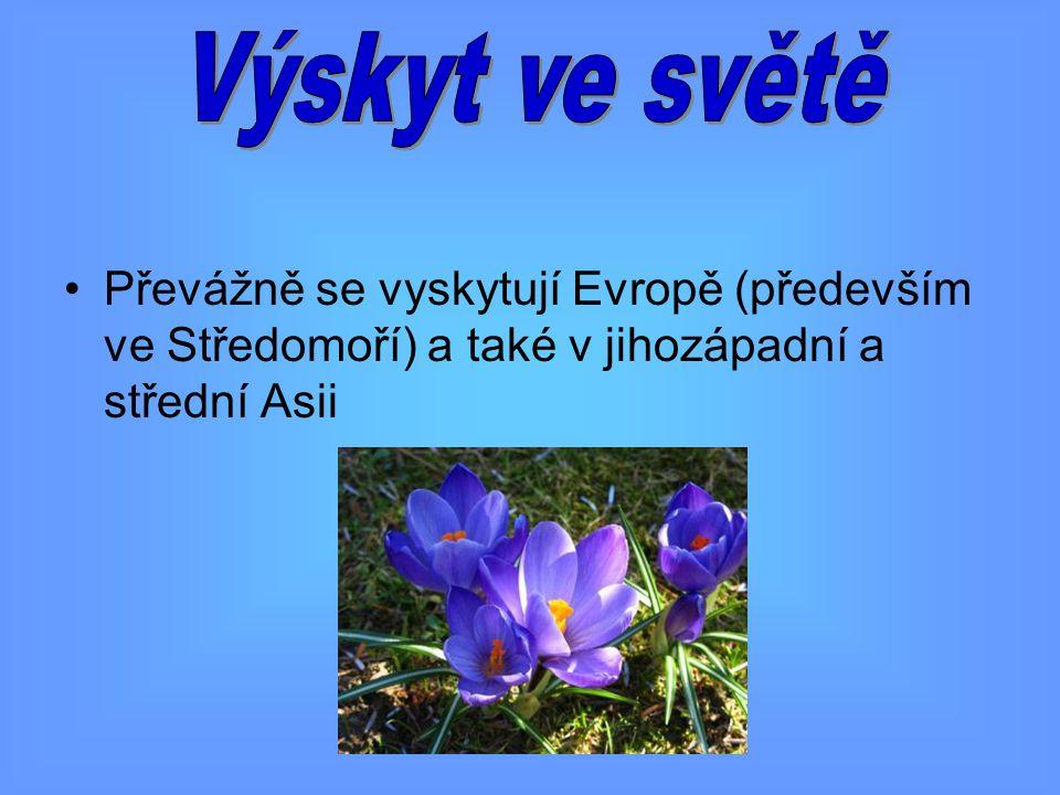 V ČR rostou jen dva druhy krokusů Šafrán bělokvětý roste hlavně v Alpách, v Novohradských horách a na Šumavě