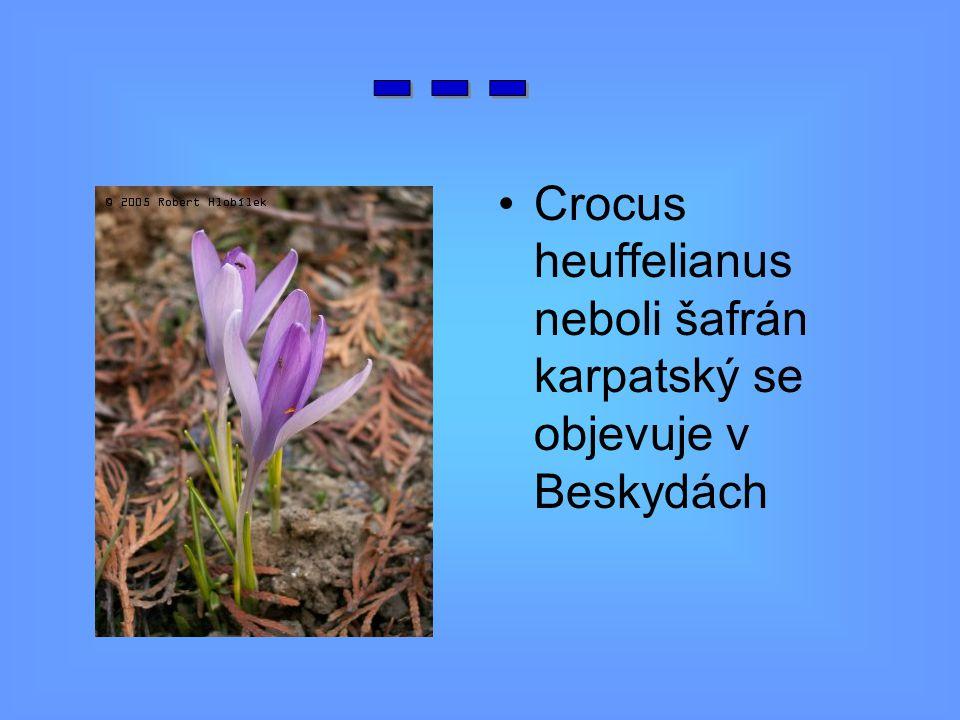 Crocus heuffelianus neboli šafrán karpatský se objevuje v Beskydách