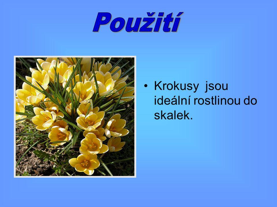 Krokusy jsou ideální rostlinou do skalek.