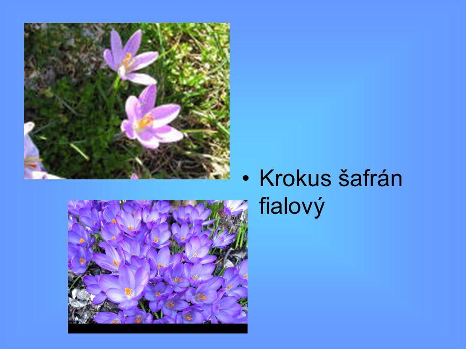 Krokus šafrán fialový