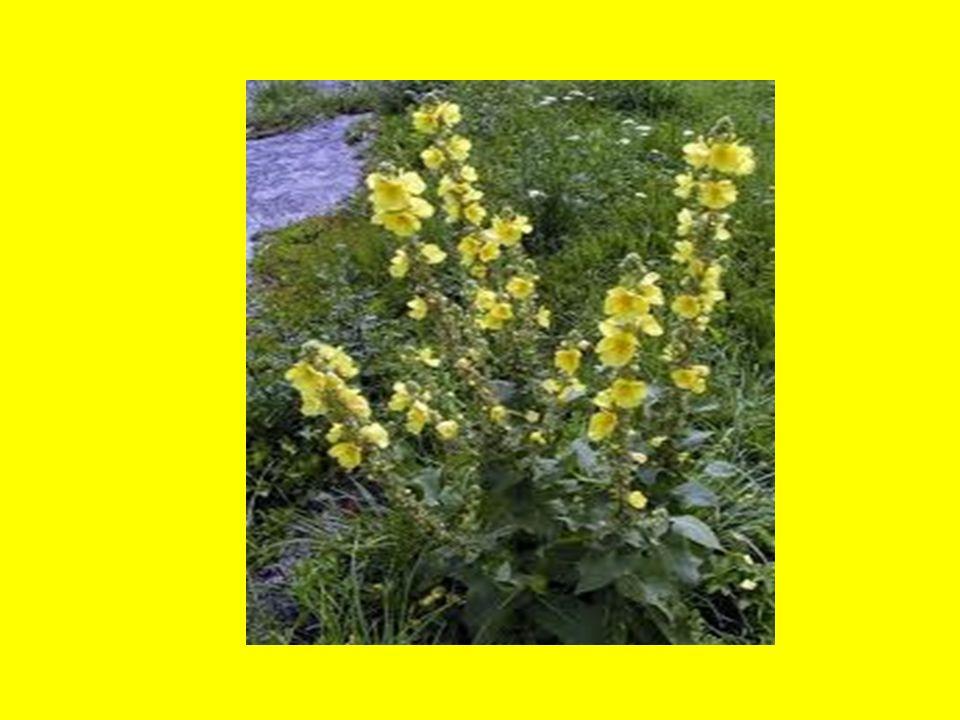 3.ROSTLINY VYTRVALÉ Žijí mnoho let.Opakovaně kvetou a plodí.