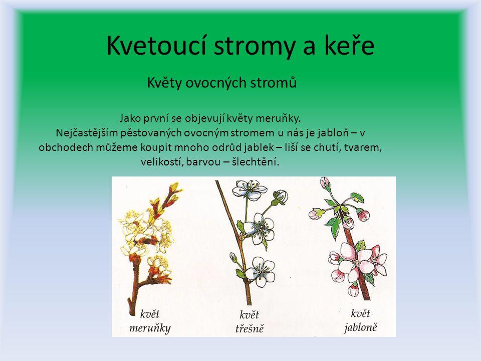 Kvetoucí stromy a keře Květy ovocných stromů Jako první se objevují květy meruňky.