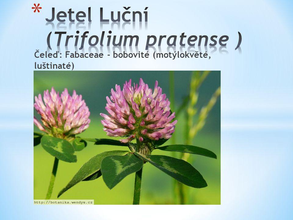 Čeleď: Fabaceae - bobovité (motýlokvěté, luštinaté)