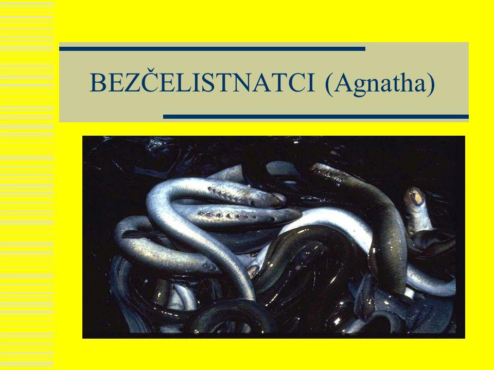 Kruhoústí ( Cyclostomata)  Většina zástupců vymřela v minulých geologických obdobích  Dnes jsou zastoupeny MIHULEMI a SLIZNATKAMI  Mají kruhovitou přísavku kolem ústního otvoru  Mají chordu  Smyslovým orgánem je především PROUDOVÝ ORGÁN  Larva se nazývá MINOHA  Živí se DETRITEM nebo dravě  Běhen metamorfózy se vrací mořské druhy do moře