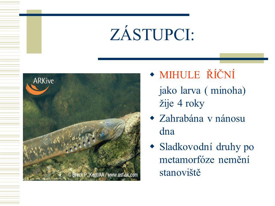 ZÁSTUPCI:  MIHULE ŘÍČNÍ jako larva ( minoha) žije 4 roky  Zahrabána v nánosu dna  Sladkovodní druhy po metamorfóze nemění stanoviště