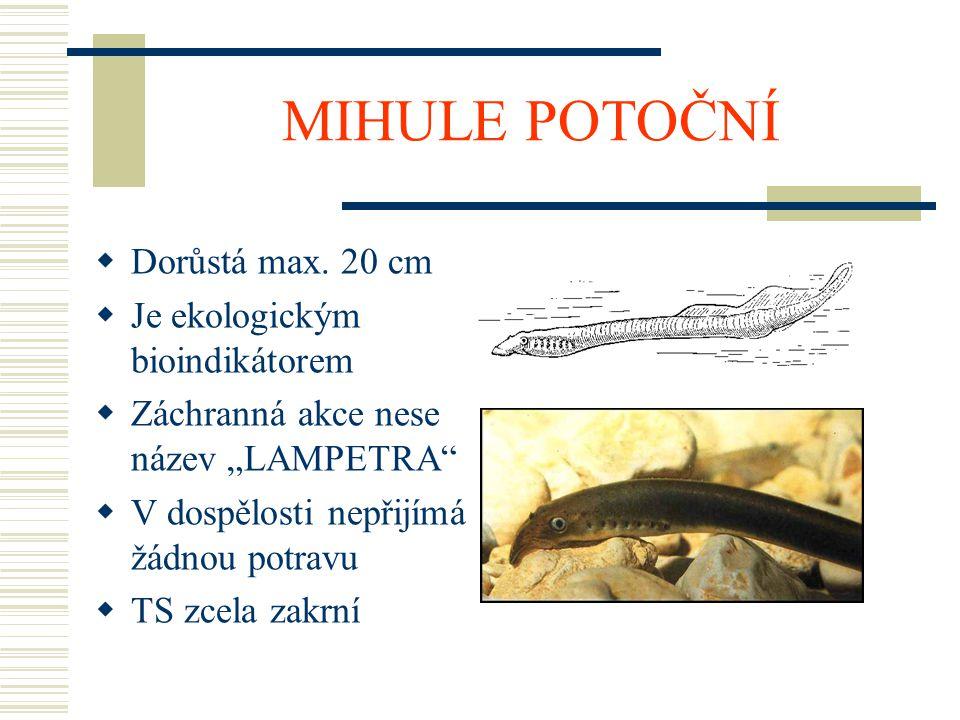 """MIHULE POTOČNÍ  Dorůstá max. 20 cm  Je ekologickým bioindikátorem  Záchranná akce nese název """"LAMPETRA""""  V dospělosti nepřijímá žádnou potravu  T"""