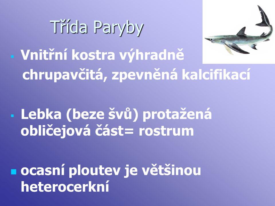 Třída Paryby   Vnitřní kostra výhradně chrupavčitá, zpevněná kalcifikací   Lebka (beze švů) protažená obličejová část= rostrum ocasní ploutev je v