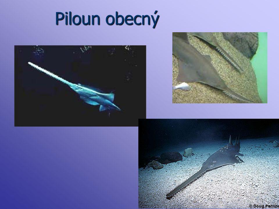 Piloun obecný
