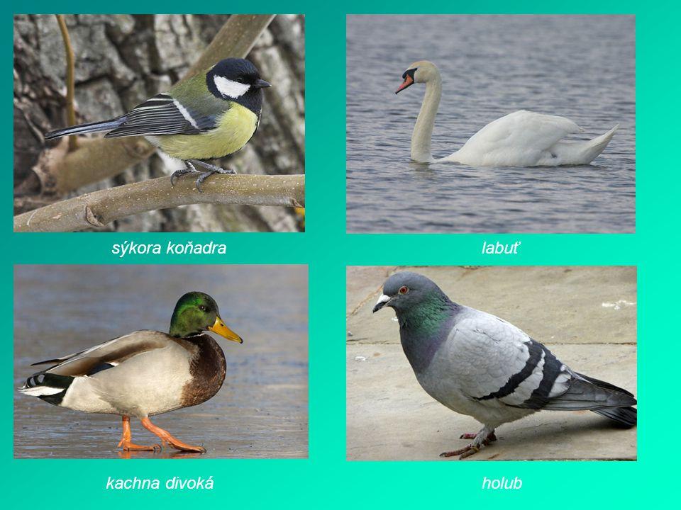 sýkora koňadralabuť holubkachna divoká