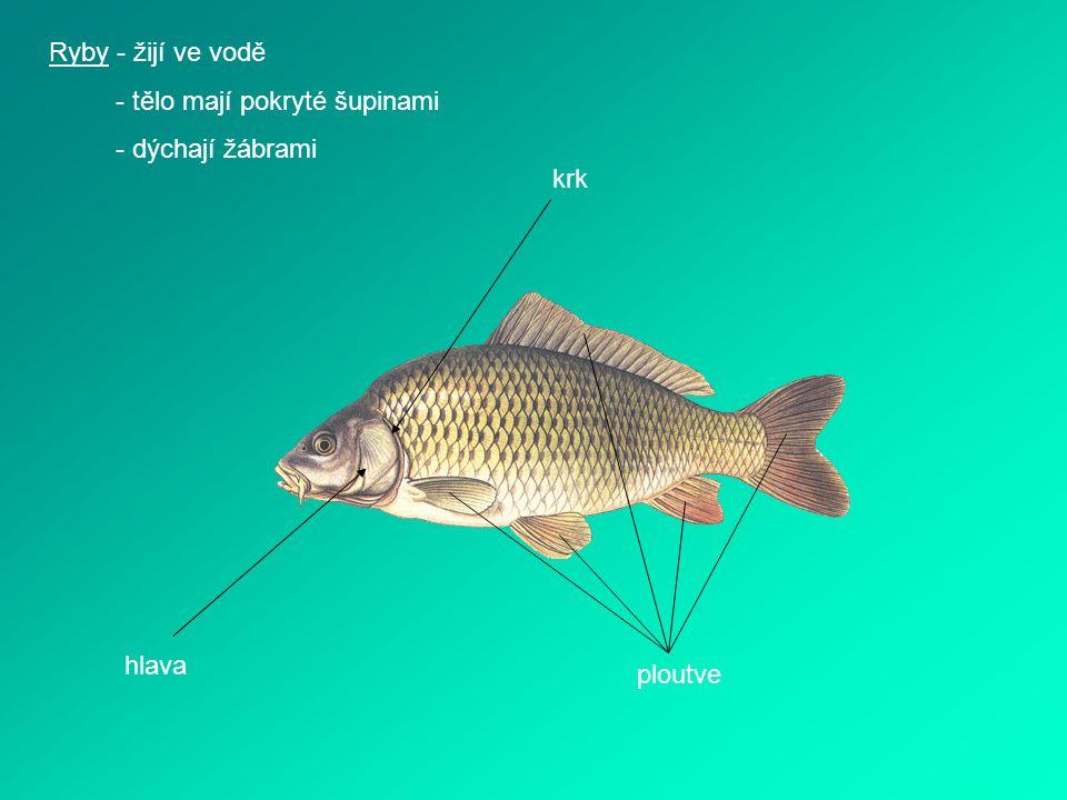 Ryby - žijí ve vodě - tělo mají pokryté šupinami - dýchají žábrami hlava krk ploutve